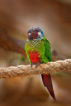While they're a rare sight in captivity, the Blue Throated Conure has a wonderful personality and an affectionate nature, which makes them great pets. Conure, Parrot, Personality, Photos, Birds, Blue, Animals, Health, Parrot Bird