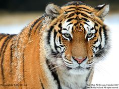 tiger images | Tiger Pictures Big Cats