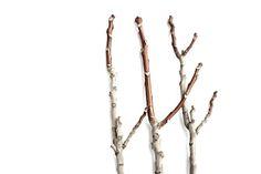 Ramas desnudas de ailanto o árbol de los dioses, Tomelloso. (Ciudad Real)