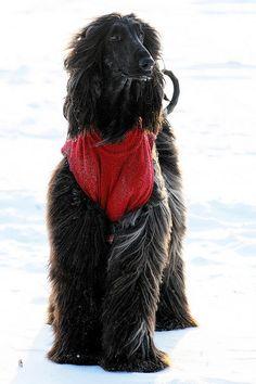 Kalaf by Afghan Hound Kalaf Big Dogs, I Love Dogs, Cute Dogs, Afghan Hound, Most Beautiful Dogs, Tibetan Terrier, Horses And Dogs, Large Dog Breeds, Hound Dog