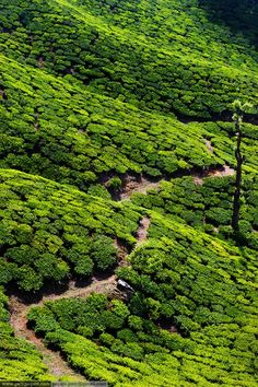 Tea Plantations ~ Kerala, India  #places