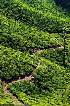 Tea Plantations ~ Kerala, India  #places