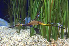 L'Hippocampe dragon créature étrange