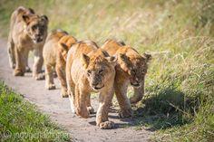 Fat Boys with a lot of flies. | Masai Mara. | Kenya. |  www.ingogerlach.com