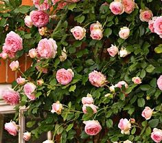Pierre de Ronsard rose, syns 'Eden' rose, Duchesse de Brabant Eden rose Pierre de Ronsard. A lovely climbing pink rose with fragrant flowers that look like old fashioned roses