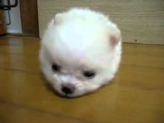 Extreme cuteness in the tiniest little fluffball of a puppy.  I have no words though my daughter said it best..  AAAWWWEEE!!!!!!!!!!!