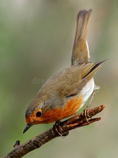 Photo about Robin, beautyful bird with reddish-orange face and breast, getting ready to take off. Image of birds, telephoto, animals - 8565541 European Robin, Bird Identification, Let's Make Art, Robin Redbreast, Robin Bird, Mundo Animal, Tier Fotos, Bird Pictures, Woodland Creatures