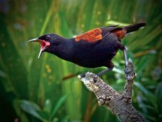 Tieke (saddleback), New Zealand Wattlebird family. Saddlebacks will nest in epiphytes, tree fern crowns, or holes in tree trunks