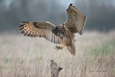 Landing by Dave Ovenden on 500px. Eagle owl