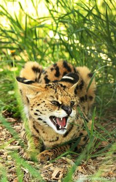 Pixie - African Serval By Hatleopard.