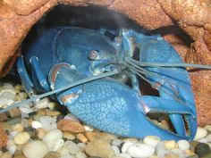 losters   ... said to a have resident blue lobsters that draw a lot of attention