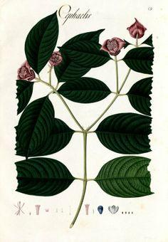 Cephaelis. Proyecto de digitalización de los dibujos de la Real Expedición Botánica del Nuevo Reino de Granada (1783-1816), dirigida por José Celestino Mutis: www.rjb.csic.es/icones/mutis. Real Jardín Botánico-CSIC.
