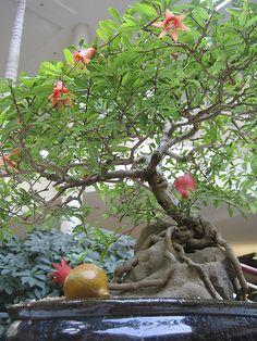 Fruit Bearing Bonsai