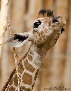 Giraffe Tallent by DeeOtter on deviantART