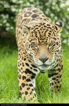 Jaguar Series - WHY, GOOD MORNING DARLING!! - DID YOU SLEEP WELL??
