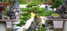 Plantas negativas para el hogar: Bonsai