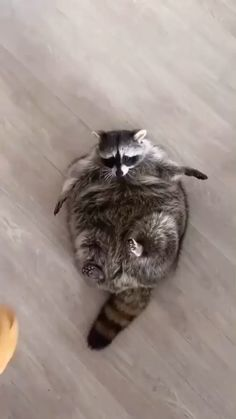 Cute Wild Animals, Super Cute Animals, Cute Little Animals, Cute Funny Animals, Animals Beautiful, Animals And Pets, Fat Raccoon, Racoon, Amazing Animal Pictures
