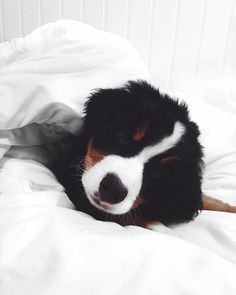 Black and White, preto e branco beernesse, berne mountain dog, cachorro, cão