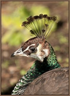 Peahen, Hartley Park, British Columbia, Canada. I miss our birds so much.