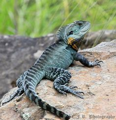 lizards and dragons