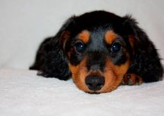 for sale, Three adorable male long-haired Mini-Dachshunds. Americanlisted has classifieds in Kalamazoo, Michigan for dogs and cats. Kennel hounds, dogs and all kinds of cats Dachshund Puppies For Sale, Mini Dachshund, Cute Puppies, Dachshunds, Kinds Of Cats, Pets For Sale, Dog Cat, Sausage Dogs, Michigan