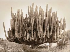 Large organ pipe cactus in Baja California, photographed by Leon Diguet in 1895