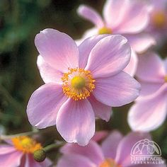 'Queen Charlotte' Japanese Anemone - blooms in the late summer & fall.  USDA Zone: 5-9.  The branching stems of poppy-like flowers are superb for cutting. Plants prefer a rich, moist site, spreading to form a large patch. This is a taller selection, featuring very large, semi-double bright-pink blossoms. Good for part shade. Use a winter mulch in colder regions, particularly if planting in the fall. Easily divided in early spring. May need to be staked by late summer.