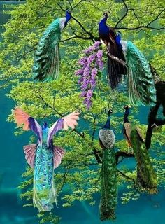 Magnificent Peacocks