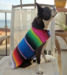 Señor Guapo Muchacho  | Boston Terrier Friendzy