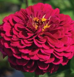 This page gives instructions on how to buy Zinnia Benarys Giant flower seeds from David's Garden Seeds. Giant Flowers, Fall Flowers, Cut Flowers, Wedding Flowers, Summer Flowers, Cut Flower Garden, Flower Farm, Lawn And Garden, Garden Tools