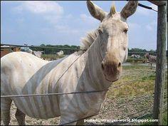 #Albino zebra