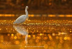 Golden glitter by Natureimages http://ift.tt/2aGkz43