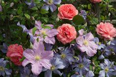 Klematis Perle d'Azur, klematis 'Juuli' og rosen 'Compassion'