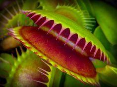 Las 10 plantas carnívoras más impresionantes del mundo: Dionaea muscipula (Venus atrapamoscas)