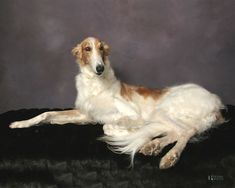 How beautiful of portrait - Borzoi / Russian Wolfhound