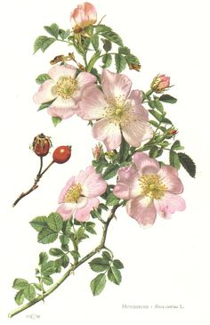 Dog-rose, 1960 Vintage Botanical Print, Rosa canina, Botany Illustration, Home…