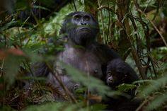 Gorila Uganda  Gorila hembra con su cría en el Bwindi Impenetrable National Park de Uganda