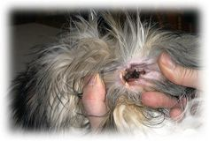 A person is flipping a dogs ear inside out to reveal how dirty it is. The ear has a black mess in it. Grooming Yorkies, Dog Grooming Styles, Dog Grooming Tips, Teacup Chihuahua Puppies, Shitzu Puppies, Yorkie Dogs, Yorkshire Terrier Haircut, Yorkshire Terrier Puppies, Yorkie Poo Haircut