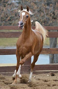 MCF Tru Elation (Trussardi x Aria Elita) May 2014 Chestnut Filly Horses And Dogs, Cute Horses, Horse Love, Show Horses, Beautiful Arabian Horses, Majestic Horse, Most Beautiful Animals, Palomino, Chestnut Mare