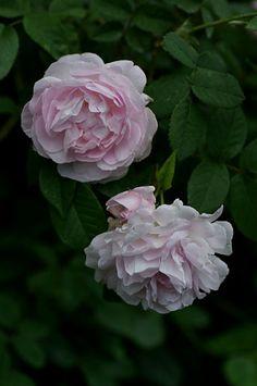 Hybrid Gallica Rose: Rosa 'Agatha Incarnata' AKA 'Duchesse d'Angoulême' (Netherlands, before 1800)