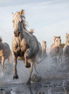 Wild camarque horses