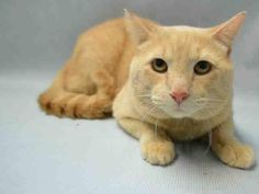 Meet Nala, an adoptable Domestic Short Hair-orange looking for a forever home. If you're looking for a new pet to adopt or want information on how to get involved with adoptable pets, Petfinder.com is a great resource.