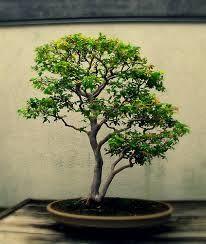 Resultado de imagen para jaboticaba bonsai