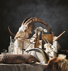The Beaty Biodiversity Museum featured in MONTECRISTO Magazine. Domestic goat (Capra aegagrus hircus), skull; Potto (Perodicticus potto), articulated skeleton; African elephant (Loxodonta africana), molar; Oribi (Ourebia ourebi), skull; Malayan pangolin (Manis javanica), study skin; Wolverine (Gulo gulo), pelt. Nineteenth-century powder keg horn provided by Vancouver Architectural Antiques Ltd.; All other items from private collections. www.beatymuseum.ubc.ca