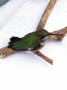 Ruby-throated hummingbird at the Providence Wildlife facility.