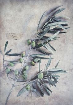 a simple olive branch after all that war crap! | Flickr - Photo Sharing!