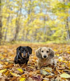 """""""My sister and I want to wish all my fellow Canadians a Happy Thanksgiving today! """"My sister and I want to wish all my fellow Canadians a Happy Thanksgiving today! """" Crusoe Via by =>crusoe_dachshund Dapple Dachshund, Long Haired Dachshund, Dachshund Puppies, Dachshund Love, Corgi Dog, Chihuahua Dogs, Pet Dogs, Pets, Dachshunds"""