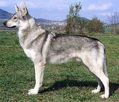 Silver czechoslovakian wolfdog - photo#18
