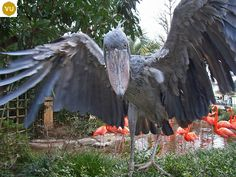 https://www.facebook.com/WonderBirds-171150349611448/ Cò mỏ giầy; Họ Cò mỏ giầy-Balaenicipitidae; châu Phi || Shoebill/Whalehead (Balaeniceps rex) IUCN Red List of Threatened Species 3.1 : Vulnerable (VU)(Loài sắp nguy cấp)