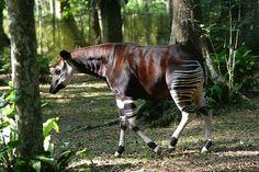 Adam Barralet's Good Things To Know:Animal of the Week ~ Okapi Extinct And Endangered Animals, Endangered Species, Mammals, Big Animals, Animals Of The World, Crazy Animals, Interesting Animals, Unusual Animals, Okapi